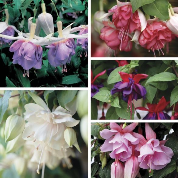 Current List of Fuchsia Species – 2018
